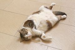 Gnuśny puszysty kot relaksuje na nim z powrotem Zdjęcia Royalty Free