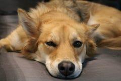 Gnuśny relaksujący husky Obraz Royalty Free