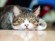 Gnuśny Tomcat Niski kąt zdjęcia royalty free