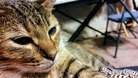 Gnuśny tygrysiego kota zakończenie up obrazy royalty free