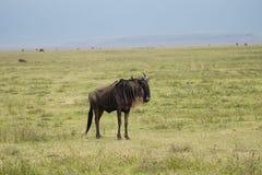 GNU στον κρατήρα Ngorongoro, Τανζανία Στοκ Φωτογραφίες