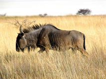 Gnu Stock Photos
