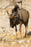 Gnu Royalty Free Stock Image