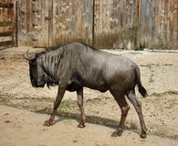 Gnu Royalty Free Stock Photography