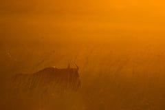 Gnu africano colorido África do Sul do nascer do sol Imagem de Stock