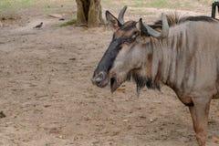 Gnu alto vicino nello zoo aperto immagini stock libere da diritti