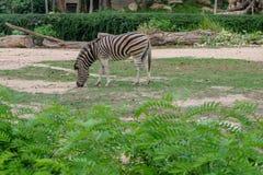 Gnu alto vicino nello zoo aperto fotografia stock