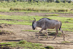 Gnu in Amboseli, Kenya Immagine Stock Libera da Diritti