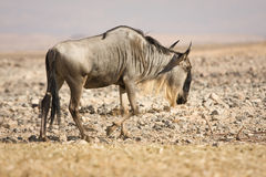 Gnu antelope. Blue Wildebeest, Gnu antelope , Connochaetes taurinus Royalty Free Stock Photos