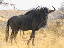 Gnu antelope Stock Photos