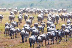 Gnu antelope. Wildebeest river crossing during the 2008 migration Stock Photography