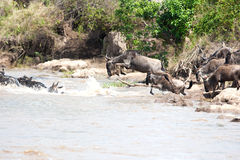 Gnu antelope. Wildebeest river crossing during the 2008 migration Stock Photo