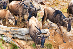 Gnu antelope. Wildebeest river crossing during the 2008 migration Stock Photos