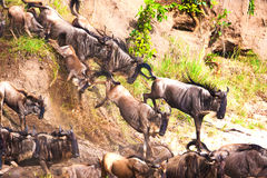 Gnu antelope. Wildebeest river crossing during the 2008 migration Royalty Free Stock Image