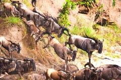 Gnu antelope Royalty Free Stock Image