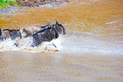 Gnu antelope. Wildebeest river crossing during the 2008 migration Royalty Free Stock Photography
