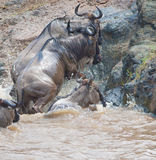 Gnu antelope. Wildebeest river crossing during the 2008 migration Royalty Free Stock Images