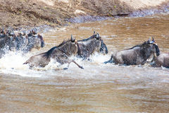 Gnu antelope. Wildebeest river crossing during the 2008 migration Royalty Free Stock Photo