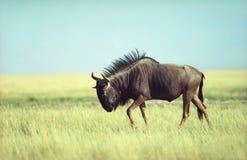 gnu antilope Стоковые Фотографии RF