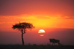 Gnu au coucher du soleil photo stock