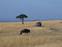 Gnu auf das Masai Mara Lizenzfreie Stockfotografie