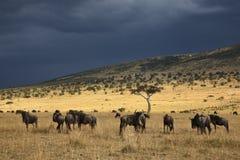 Gnu auf Masai Mara Stockfotografie