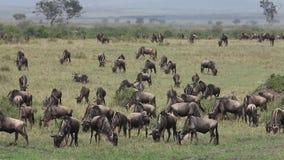 Gnu azul, taurinus do connochaetes, rebanho que anda através do savana durante a migração, Masai Mara Park em Kenya, vídeos de arquivo