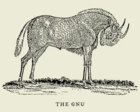 The gnu or black wildebeest connochaetes gnou in profile view. Illustration. The gnu or black wildebeest connochaetes gnou in profile view after an antique Stock Photo