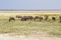 Gnu blu, pentola di Etosha, Namibia Immagini Stock Libere da Diritti