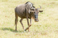 Gnu blu in Tanzania Fotografie Stock