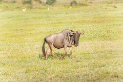 Gnu blu in Tanzania Fotografia Stock Libera da Diritti