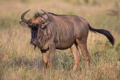 Gnu che cammina attraverso un campo nel parco nazionale di Kruger Immagini Stock