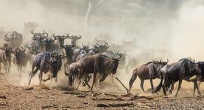 Gnu che passano la savana Grande espansione kenya tanzania Masai Mara National Park Fotografie Stock