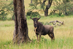 Gnu che si leva in piedi vicino ad un albero con la stessa struttura Fotografie Stock Libere da Diritti