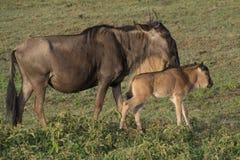Gnu com vitela, área da conservação de Ngorongoro, Tanzânia Foto de Stock