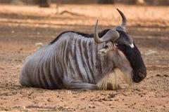 gnu d'antilope Image libre de droits