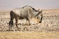 gnu d'antilope Photos libres de droits