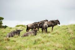 Gnu d'antilope image stock