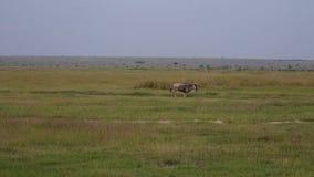 Gnu, das schnell auf Weide in den afrikanischen wild lebenden Tieren läuft stock footage