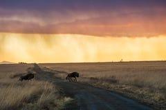 Gnu della pioggia di alba nel Sudafrica Immagini Stock