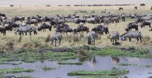 Gnu delle zebre che pasce la Tanzania Tom Wurl Fotografia Stock