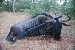 Gnu der Trophäe erwachsener Mannesmit einem Gewehr nach der Jagd stockfotografie