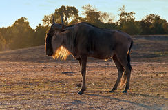 Gnu (disambiguation). Wildebeest , also called the gnu is an antelope of the genus Connochaetes royalty free stock image