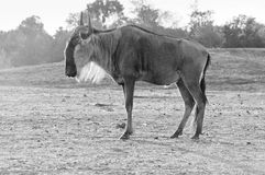 Gnu (disambiguation). Wildebeest , also called the gnu is an antelope of the genus Connochaetes Stock Image