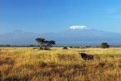 Gnu e Kilimanjaro Immagini Stock Libere da Diritti