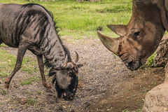 Gnu e rinoceronte blu Fotografia Stock