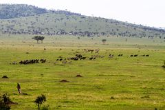 Gnu e zebras no parque nacional de Serengeti, Tanzânia imagem de stock