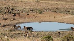 Gnu ed antilopi ad un waterhole archivi video