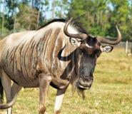 Gnu em Lion Country Safari fotografia de stock
