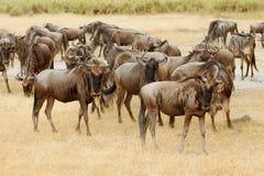 Gnu em Masa Mara Foto de Stock
